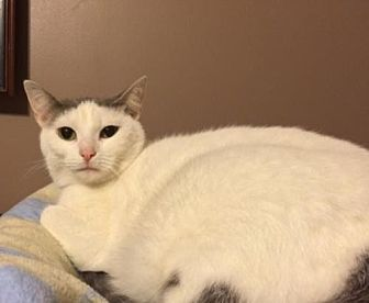 Domestic Shorthair Cat for adoption in O'Fallon, Missouri - Mary