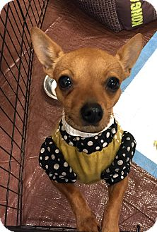 Chihuahua Mix Dog for adoption in New Braunfels, Texas - Jozi