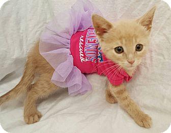 Domestic Shorthair Kitten for adoption in Northfield, Ohio - Jamie