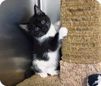 Domestic Shorthair Kitten for adoption in Lathrop, California - Moxie