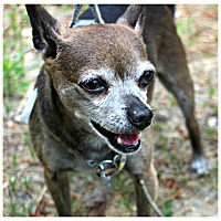 Adopt A Pet :: Brownie - Forked River, NJ