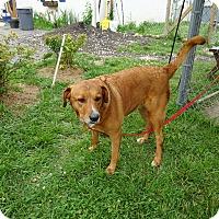 Labrador Retriever Mix Dog for adoption in Delaware, Ohio - Brandy