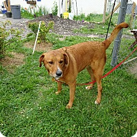 Adopt A Pet :: Brandy - Delaware, OH