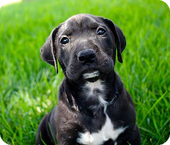 Labrador Retriever/Pit Bull Terrier Mix Puppy for adoption in Cypress, California - Larry