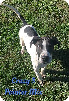 German Shorthaired Pointer Mix Puppy for adoption in Cheney, Kansas - Crazy 8