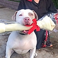 American Bulldog/Mastiff Mix Dog for adoption in Beverly Hills, California - Hunk-a-Chunk