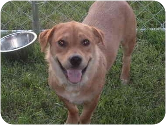 Basset Hound/Labrador Retriever Mix Dog for adoption in Murfreesboro, Tennessee - Daisy