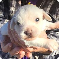 Adopt A Pet :: Hans, Born Jan 24, Precious - Corona, CA