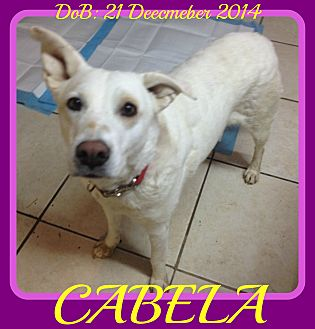 Labrador Retriever/Australian Cattle Dog Mix Dog for adoption in Allentown, Pennsylvania - CABELA