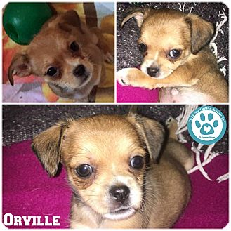 Chihuahua/Yorkie, Yorkshire Terrier Mix Puppy for adoption in Kimberton, Pennsylvania - Orville
