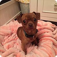 Adopt A Pet :: Adam - Grand Ledge, MI