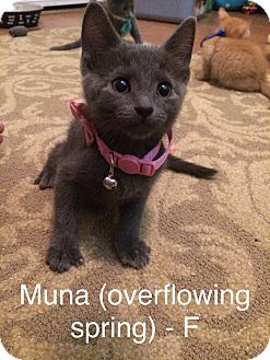 Domestic Shorthair Kitten for adoption in Glendale, Arizona - MUNA (Overflowing)