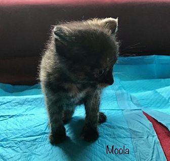 Domestic Shorthair Kitten for adoption in Greensburg, Pennsylvania - Moola