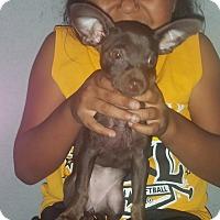 Adopt A Pet :: Dory - Fullerton, CA