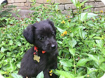 Australian Shepherd/Labrador Retriever Mix Puppy for adoption in Boerne, Texas - Luna