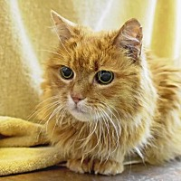Domestic Mediumhair Cat for adoption in Denver, Colorado - Paisley