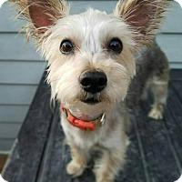 Adopt A Pet :: Bijou - Wethersfield, CT