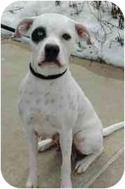 American Pit Bull Terrier Mix Dog for adoption in Walker, Michigan - Fancy