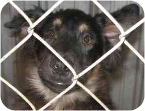 Border Collie/Dachshund Mix Puppy for adoption in Tahlequah, Oklahoma - Furball