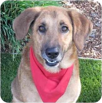 Bloodhound/German Shepherd Dog Mix Dog for adoption in San Diego, California - Tex