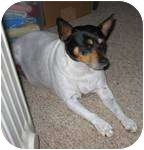 Rat Terrier Mix Dog for adoption in Frankfort, Kentucky - Jenga