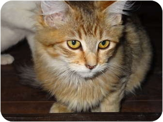 Domestic Mediumhair Kitten for adoption in Los Angeles, California - Bob