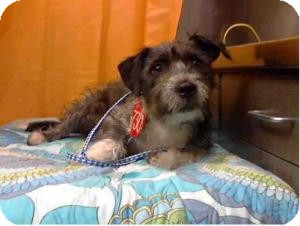 Schnauzer (Miniature)/Poodle (Miniature) Mix Dog for adoption in Las Vegas, Nevada - Emilio-N
