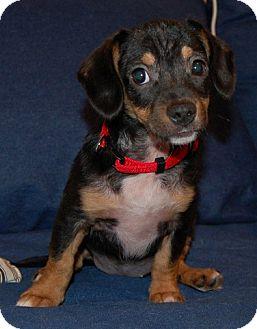 Beagle/Dachshund Mix Puppy for adoption in Lexington, Kentucky - Bitsy