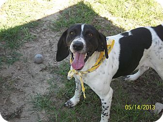 Pointer Mix Dog for adoption in Hazlehurst, Georgia - Shania