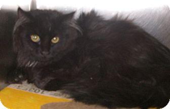 Domestic Mediumhair Kitten for adoption in Canoga Park, California - Mandela