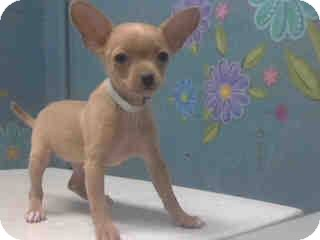 Chihuahua Puppy for adoption in North Hills, California - Bell