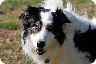 Border Collie Dog for adoption in Prince Frederick, Maryland - Ben