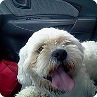 Adopt A Pet :: Madison-pending - Glastonbury, CT