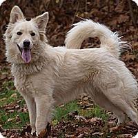 Adopt A Pet :: Marley - Sheltie mxi - Toronto/Etobicoke/GTA, ON