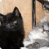 Adopt A Pet :: Dori & Darla (Kitten Cuteness) - Arlington, VA