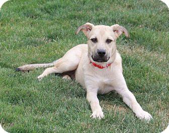 German Shepherd Dog/Boxer Mix Puppy for adoption in New Oxford, Pennsylvania - Boog