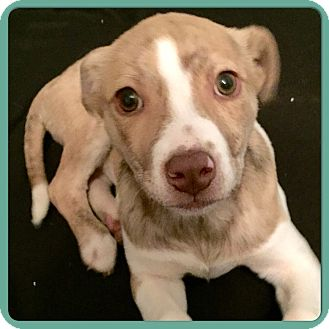Australian Shepherd/Labrador Retriever Mix Puppy for adoption in Greenfield, Wisconsin - MARLEY