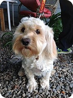 Cockapoo Mix Dog for adoption in Santee, California - Snow