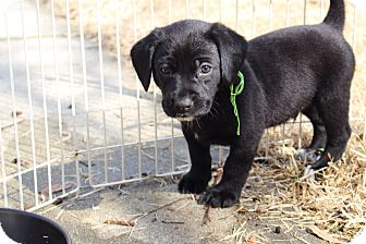 Labrador Retriever Mix Puppy for adoption in Mountain Lakes, New Jersey - Lab girl pup
