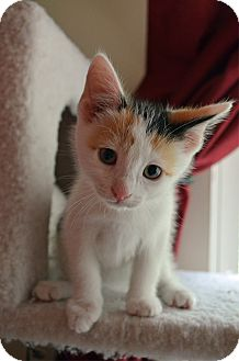 Calico Kitten for adoption in Port Republic, Maryland - Lily
