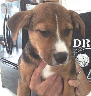 German Shepherd Dog/Hound (Unknown Type) Mix Puppy for adoption in Hammonton, New Jersey - brooklyn