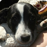 Adopt A Pet :: Colt/Colby - Foster, RI