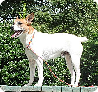 Rat Terrier Dog for adoption in Marble, North Carolina - Cecil