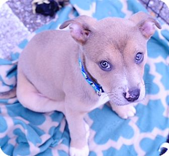 Labrador Retriever/Bull Terrier Mix Puppy for adoption in Chicago, Illinois - Ernie