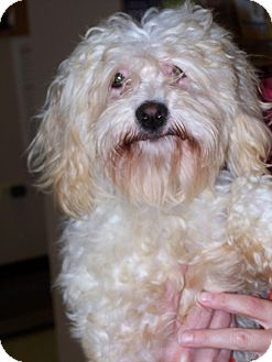 Maltese Dog for adoption in Libertyville, Illinois - Henry