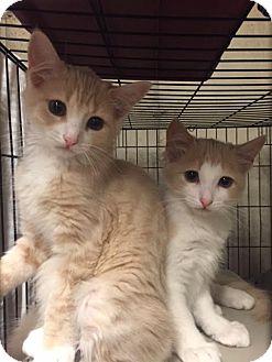 Domestic Mediumhair Kitten for adoption in Ortonville, Michigan - Tink