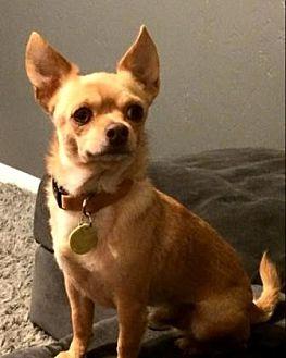 Chihuahua Mix Dog for adoption in Scottsdale, Arizona - PeeDee