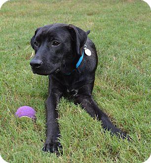 Labrador Retriever Mix Dog for adoption in Nanuet, New York - Leo