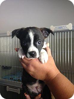 Boston Terrier Mix Puppy for adoption in Cashiers, North Carolina - Aidan