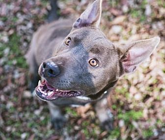 Pit Bull Terrier/German Shepherd Dog Mix Dog for adoption in Nashville, Tennessee - Abby